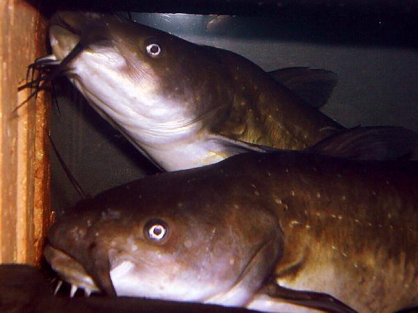 Katzenwelse for Teichfische arten bilder