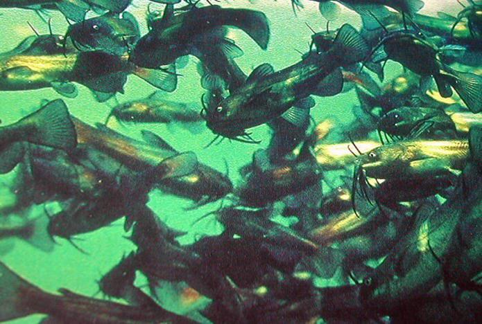 Katzenwelse for Besondere teichfische